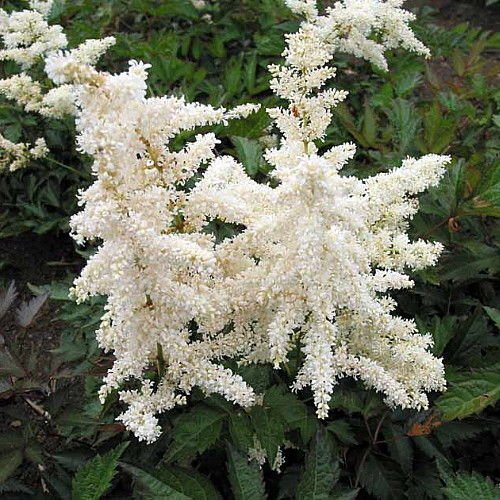 Deutschland False Spirea - Astilbe chinensis - Very Hardy! - Quart ()