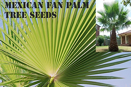 Exotic Palm Tree 15 Premium Quality Tree Seeds 60-80/% Germination, Islas Garden Seeds Mexican Washingtonia Washingtonia Robusta Mexican Fan Palm Tree Seeds