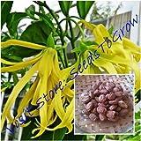 Cananga odorata 50 Seeds, Ylang-ylang, Fragrant Flower, Vine Seeds