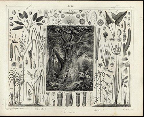 (Large Trunked Tree Rice Plant Sugar Cane Banana 1855 fascinating antique print)