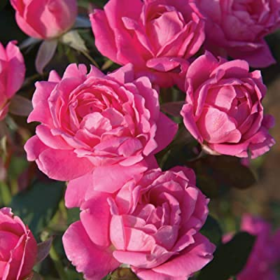 Spring Hill Nurseries - Double Pink Knockout Shrub Rose, Live Bareroot Plant with Pink Flowers (1-Pack) : Garden & Outdoor