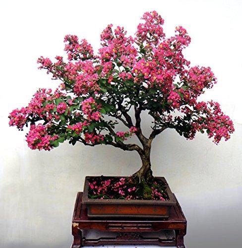 Myrtle Bonsai - 100 pcs Cheap Home Plants Heirloom Seed Crape Myrtle Bonsai Flower Seeds Garden Supplies Creepers Perfume Flower