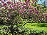 Saucer Magnolia Tree - Flowering Shrub Live Established - 1 Plant in Gallon Pot