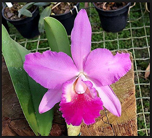 Orchid BLC Aloha Dancer .. Stock - Orchid Care Vanda