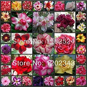 25 semillas - Semillas multicolor fresco Adenium obesum - Semillas de plantas de flor rosa del desierto Bonsai *: Amazon.es: Jardín