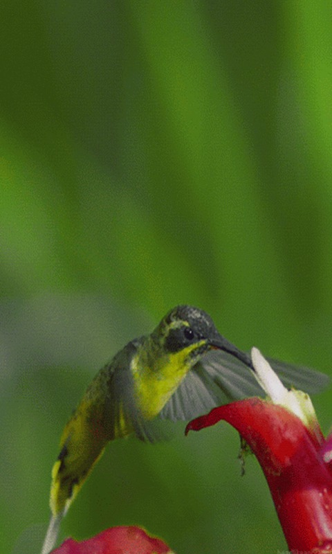 amazon com hummingbird live wallpaper appstore for android