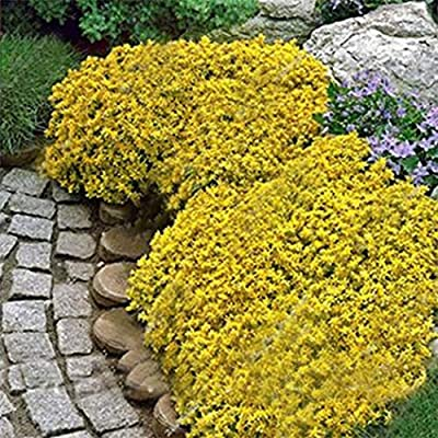 ONERIOME Perennial Bonsai Mini Rock Cress Flower Seeds Bonsai Outdoor Perennial Ground Cover Flower, Natural Growth for Home Garden 50pcs/Bag : Garden & Outdoor