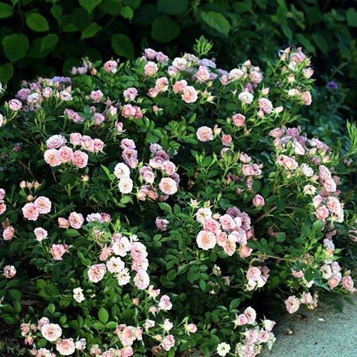 Happy Petit Pink rose