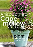 How to Grow and care of Anisodontea (Cape mallow)
