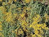 "Dwarf Curry Herb Live Plant - Helichrysum - 4"" Pot"