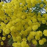GREEN WATTLE ACACIA Acacia Decurrens 5 SEEDS