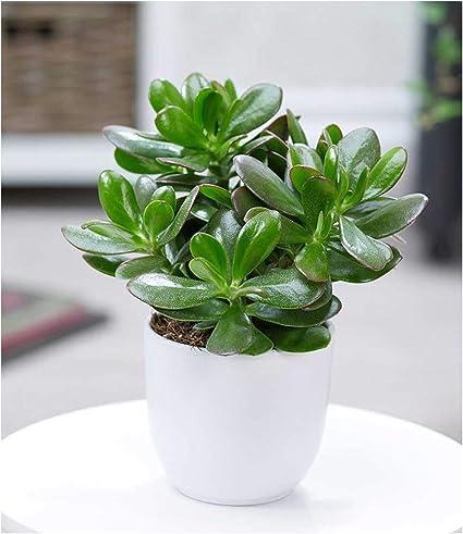 BALDUR-Garten Geldbaum Crassula, 1 Pflanze Zimmerpflanze ...