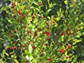 30 Seeds of Red Huckleberry, Vaccinium Parvifolium, Shrub Seeds (Edible, Fall Color, Hardy)