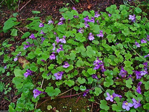 Seeds 2000 Seeds: Kenilworth Ivy, Leaved Toadflax Vine Flower Seed. Lovely Ground Cover !(2000 Seeds)