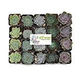 CAL Farms 2'' Beautiful Rosettes Succulents Weddings or Party Favors or Succulent Gardens (20)