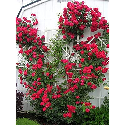 Red Climbing Rose Bush (1 Plant) Border, Cut Flowers, Ornamental, Outdoor, Vines : Garden & Outdoor