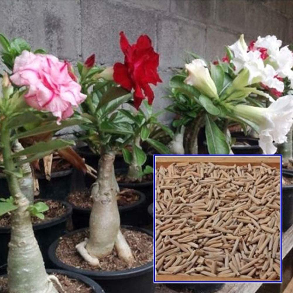 lamta1k 100Pcs Flor Adenium Semilla Planta Ornamental y Alta tasa de Supervivencia Hogar Jardín Patio Oficina Bonsai Decoración - Semilla de Adenium