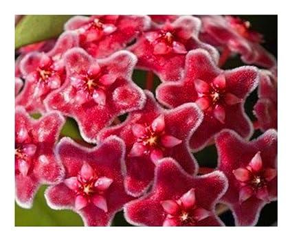 Amazoncom Hoya Carnosa Red Porcelainflower Wax Plant 10