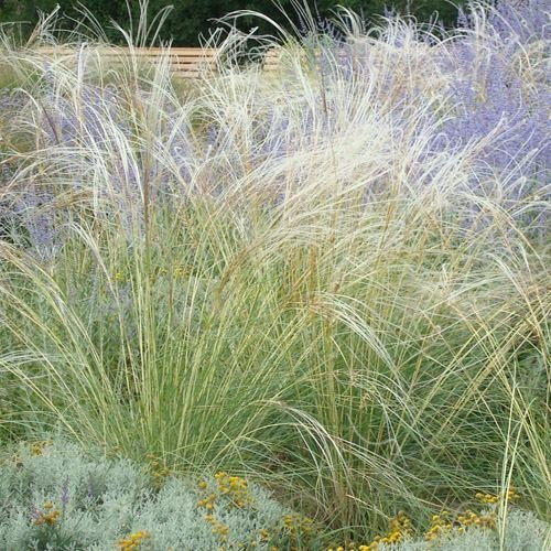 (Outsidepride Stipa Barbata - 20 Seeds)