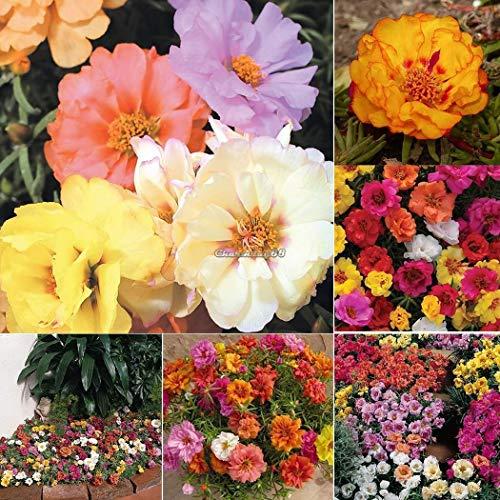 pack/50pcs: Perennial Moss Rose Seeds Flower Seeds Courtyard Plants Seeds c1my
