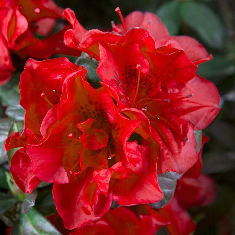 Encore Azalea Autumn Fire - 1 Gallon - Red Re-Blooming Shrub