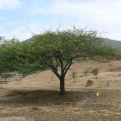 Gum Arabic Tree Seeds (Acacia Senegal) 5+ Rare Medicinal Tree Seeds : Garden & Outdoor