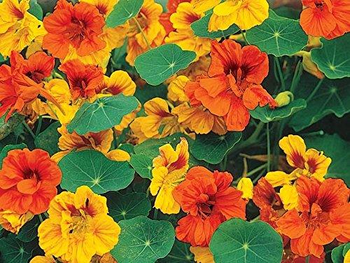 (Irish Eyes Garden Seeds- Dwarf Jewel Nasturtium Mix 1/4)