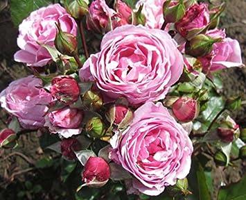 Hearts Desire 4lt Potted Floribunda Garden Rose Bush Exclusive