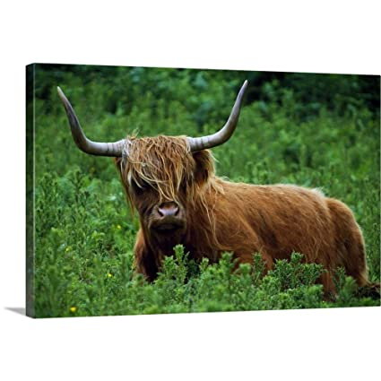 Amazoncom Highland Cow In Meadow Scottish Highlands