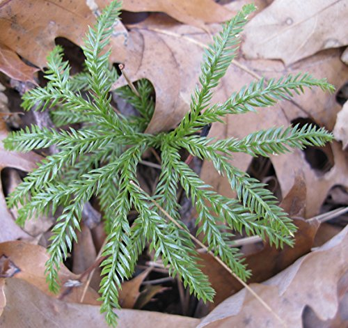 20 Live Plants - Creeping Tree Club Moss - Great for (Club Moss Plant)