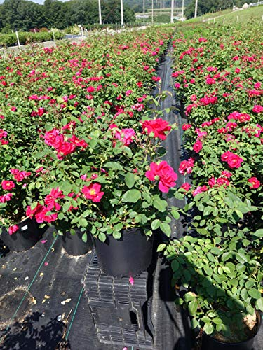 Rosa 'Blaze' (Climbing Rose) Rose, red flowers, #3 - Size Container by Green Promise Farms (Image #3)