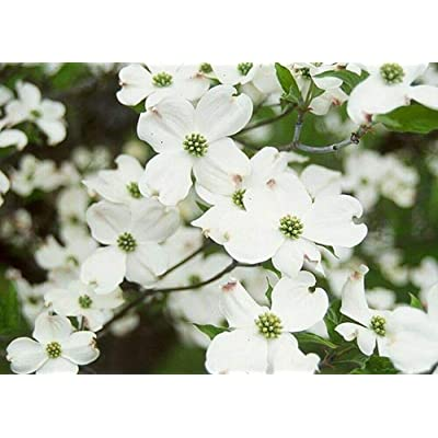 Special 10 - White Flowering Dogwood Trees : Garden & Outdoor