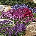 1000 Rock Cress Seeds - Royal Mix (Aubrieta Hybrida) compact, ground cover