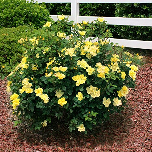 Brighter blooms sunny knockout yellow rose bushes ready for Easy care shrubs front house