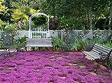 4000 seeds Creeping Thyme - Rock Cress Flower Herb Garden