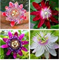 Go Garden 1 Bag 200 Seeds, Passiflora Incarnata, Maypop Vine, Purple Passion Flower