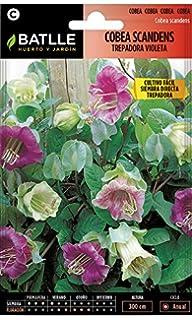 Semillas de Flores - Ipomea-Maravillas Trepadora variada - Batlle ...
