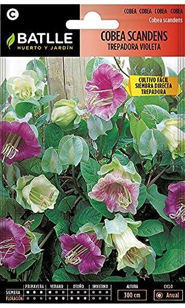 Semillas de Flores - Cobea Scandens trepadora violeta - Batlle: Amazon.es: Jardín
