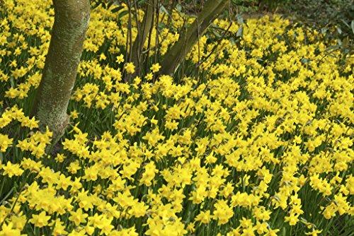 Bloomsz Daffodil Tete-a-Tete Flower Bulb (25-Pack)