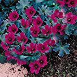 Best Garden Seeds New Rarest macrorrhizum Geranium Flower Seeds Red Dark, Professional Service Pack, 10 Seeds, perennial flowers and potted plants