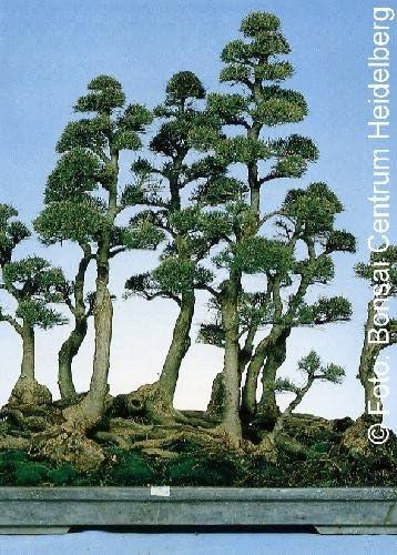 TROPICA - Pino Australiano (Casuarina equisetifolia) - 200 semillas- Bonsâis