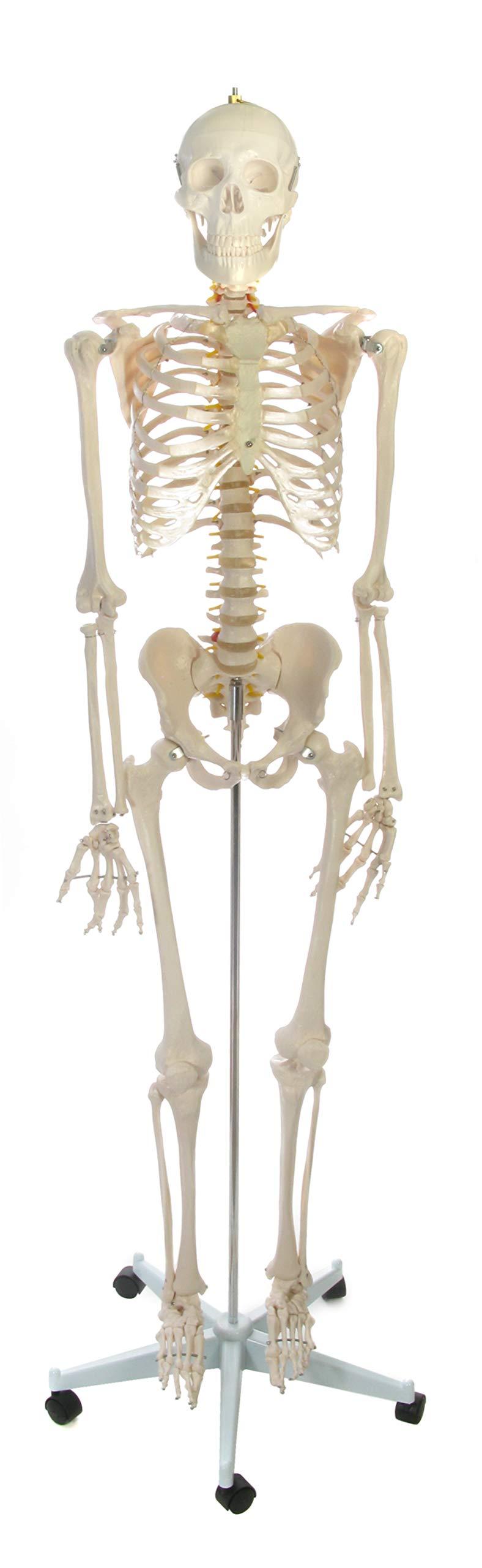American Educational Rugged Plastic Life Sized Skeleton Model, 67'' Height