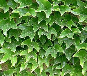 parthenocissus tricuspidata veitchii 39 robusta 39 15cm pot. Black Bedroom Furniture Sets. Home Design Ideas