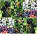 Blackberry Fruit - Shrub Seeds - Rubus Allegheniensis - NOT PICKY ABOUT SOIL TYPE - Heat Tolerant & Hardy To Zone 3 - By MySeeds.Co
