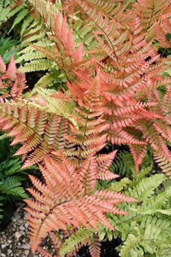 """Dryopteris Erythrosora Fern"" Plant in 13 cm Pot Perfect Plants"