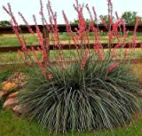 25 Hesperaloe parviflora Seeds Texas Red Yucca Redflower False Hummingbird koral