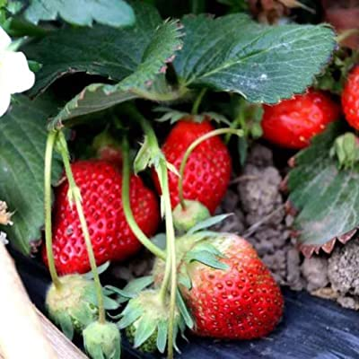 HOTUEEN Organic Fruit Seeds Bonsai High Germination Rare Home Strawberry Seeds Fruits : Garden & Outdoor