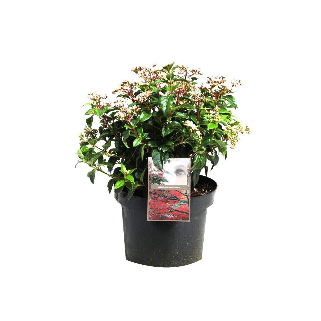 Viburnum Tinus Viorne tin;Laurier tin 50-60 cm en conteneur