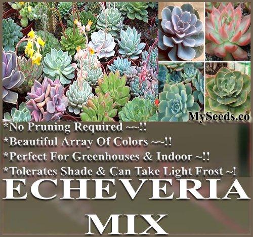 Desert Rose Mix - Echeveria Species Mix - Excellent Indoor