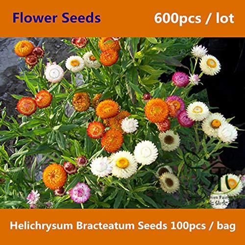 Flower Lupins Flowers Everlasting ^^Strawflower Helichrysum Bracteatum ^^^^ 600pcs, Golden Everlasting Flower ^^^^, Family Asteraceae Xerochrysum Bracteatum ^^^^
